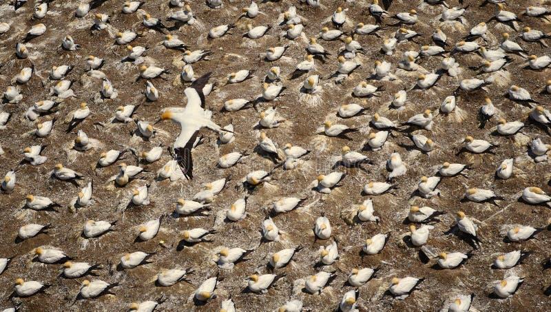 Draufsicht des Fliegenvogels über Felsen Viele Vögel im Hintergrund stockfotografie