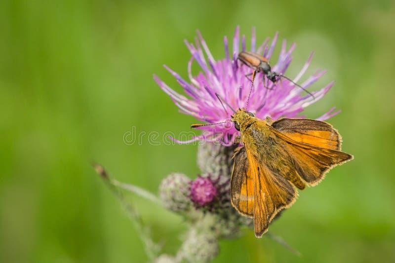 Draufsicht des kleinen orange Schmetterlinges stockfotos