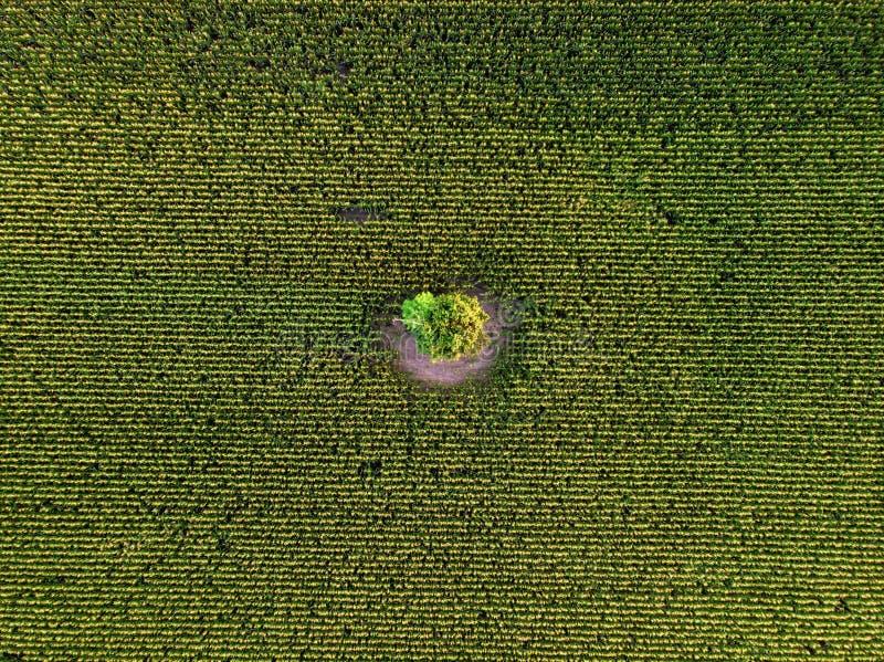 Draufsicht des Luftbrummens des bebauten Grünkernfeldes stockfotos