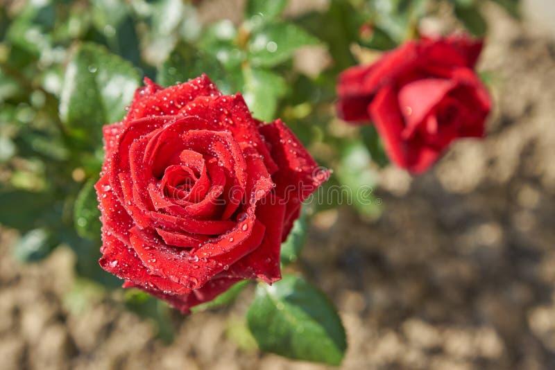 Draufsicht des schönen blühenden roten Rosenbusches im Garten Blumenblätter mit den Regentropfen, die auf der Sonne glänzen stockfotografie