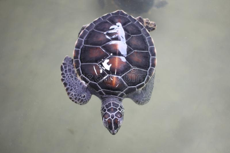 Draufsicht des Schwimmens der jungen kleinen grünen Meeresschildkröte im Meerwasser Nette Meeresschildkr?tenahaufnahme Marinespez stockfoto