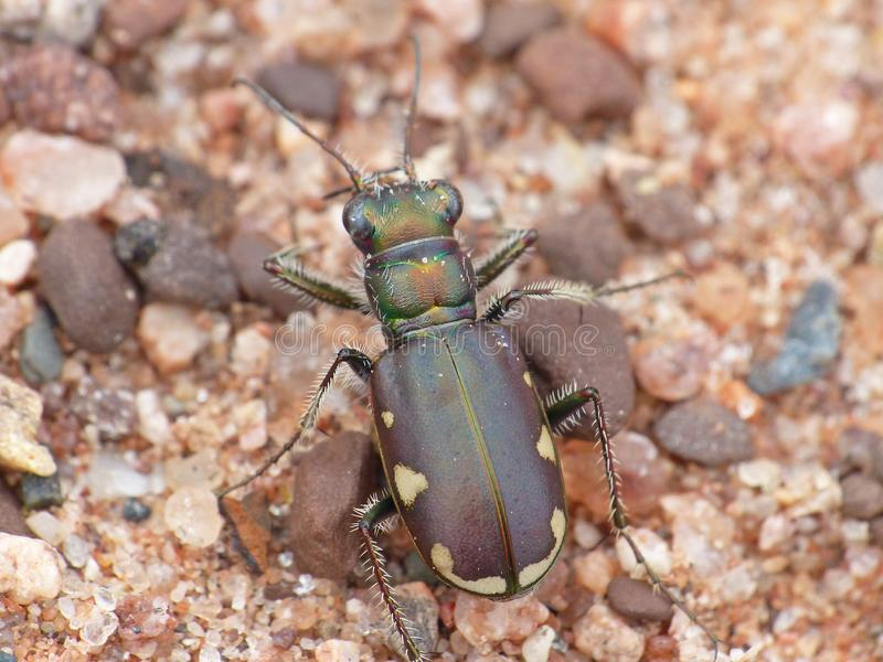 Draufsicht Tiger Beetle On Red Sands lizenzfreies stockfoto