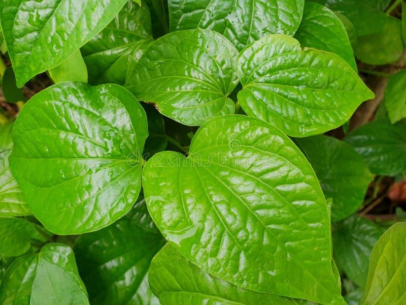 Draufsicht von Blätter Pfeifer betle als Hintergrund lizenzfreies stockfoto
