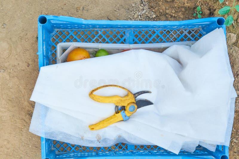 Draufsicht von blauen und weißen Plastikbehältern und von Garten pruner für das Ernten des reifen Gemüses auf dem Bauernhof lizenzfreies stockbild