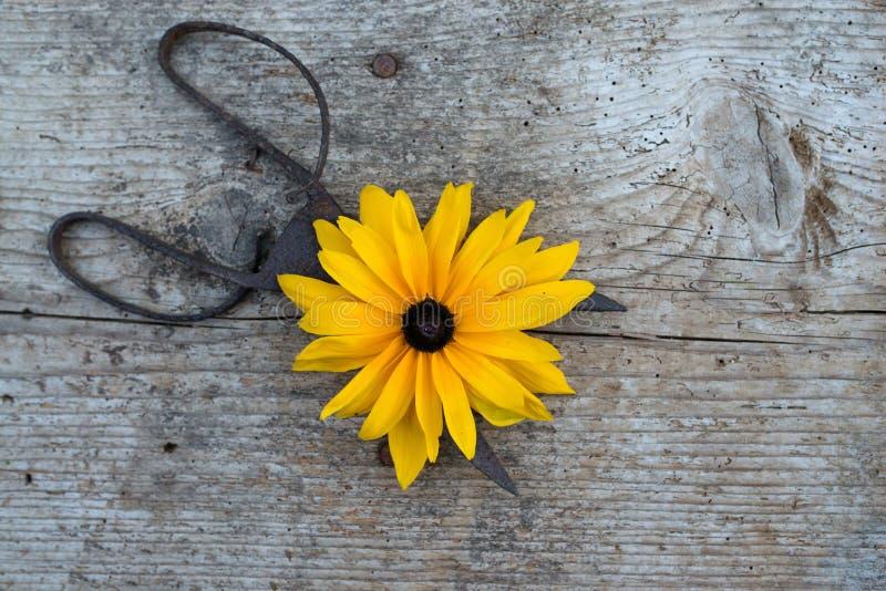 Draufsicht von Blumen und von alten Scheren auf Bretterboden stockbilder