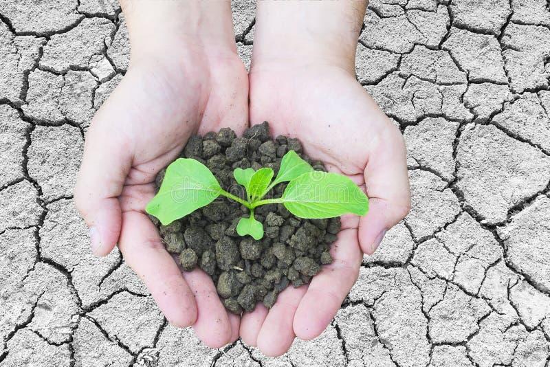 Draufsicht von den Händen, die eine kleine Grünpflanze wächst im braunen gesunden Boden über gebrochenem Bodenoberflächenhintergr stockfotografie