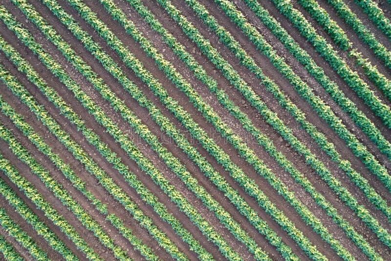 Draufsicht von diagonalen Reihen der Sojabohne auf dem Gebiet lizenzfreies stockfoto
