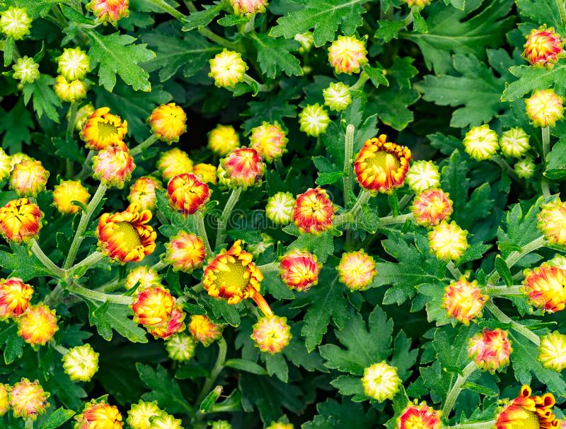 Draufsicht von gelben Blumen stockbild