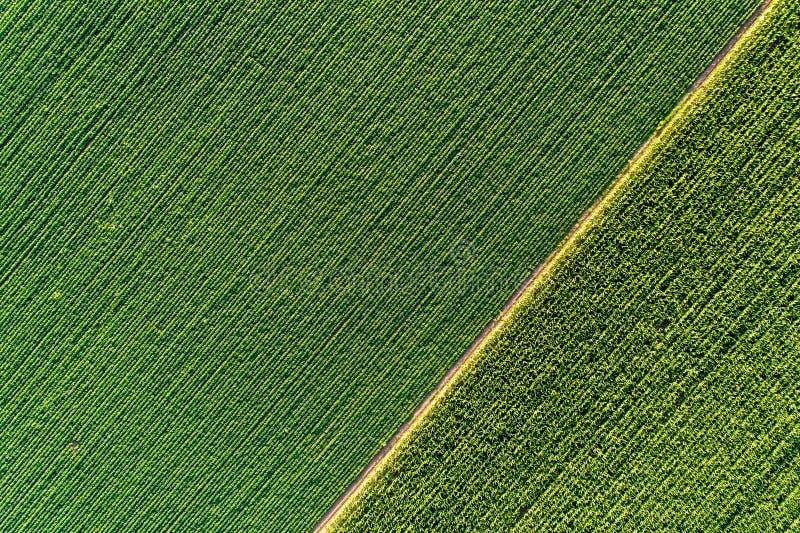 Draufsicht von grünen diagonalen Reihen von Ernten auf dem Gebiet stockfotografie