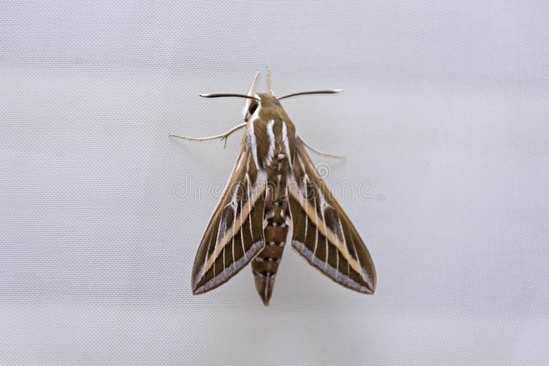 Draufsicht von riesigem Hawk Moth stockfotografie