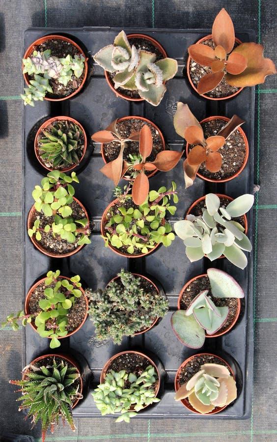 Draufsicht von Succulents lizenzfreie stockbilder