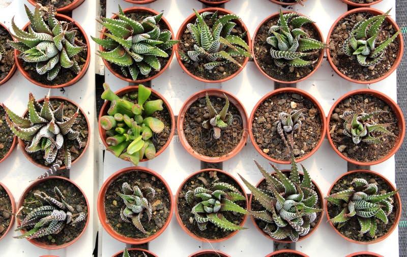 Draufsicht von Succulents stockfoto