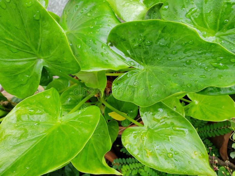 Draufsicht von Tropfen mit Niederlassung und Blätter Syngonium Podophyllum oder von Trikolore Nephthytis als Hintergrund stockfotos