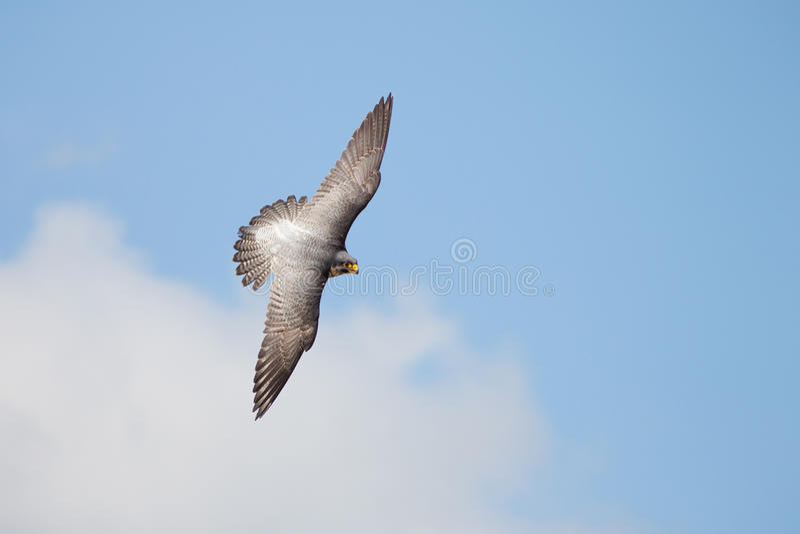 Draufsicht von Wanderfalke-Falco-peregrinus im Flug lizenzfreies stockfoto