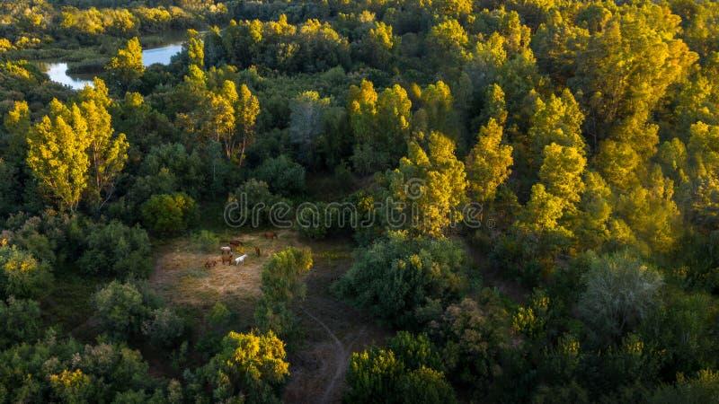 Draufsichtantenne von Pferden auf den schönen Gebieten von Spanien zur Sonnenuntergangzeit lizenzfreie stockfotos