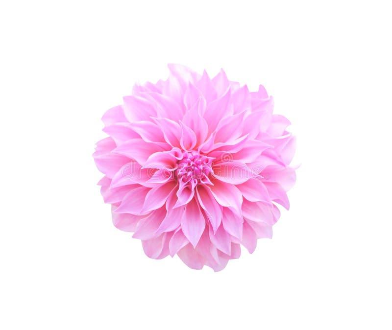 Draufsichtmuster des dekorativen rosa oder purpurroten Dahlienblumenblühens lokalisiert auf dem weißen Hintergrund, Makro stockbilder