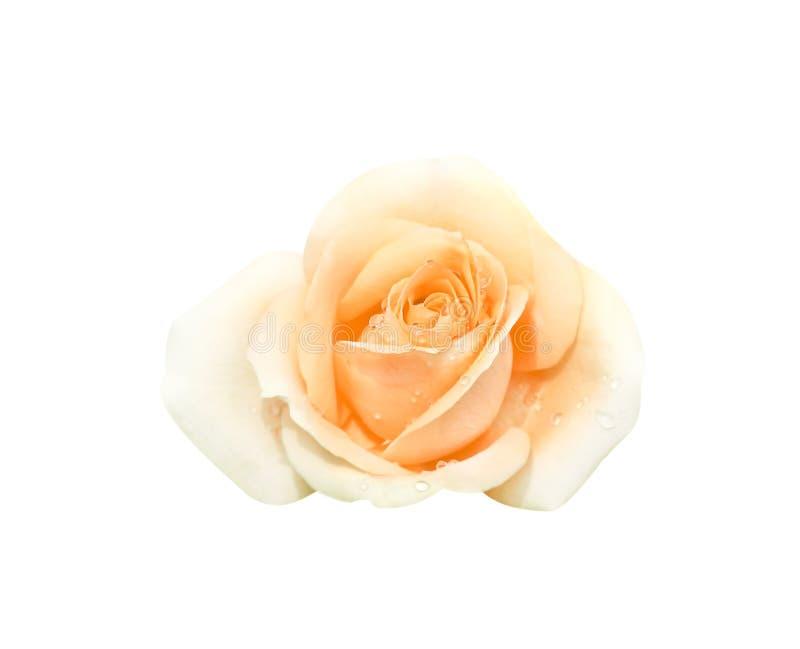 Draufsichtorange stieg die Blume mit dem Wassertropfenblühen lokalisiert auf weißem Hintergrund mit Beschneidungspfad stockfotografie