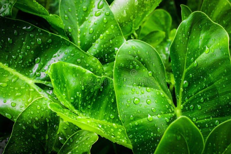 Draufsichttröpfchen der Nahaufnahme auf dem Lotos mit grüner Farbe der Blätter im Teich nach Regen Unter Verwendung der Tapeten o stockfotografie