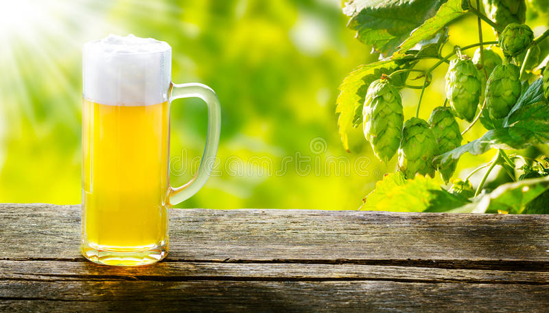 Draught beer on wooden table. In front of hop plants stock photography