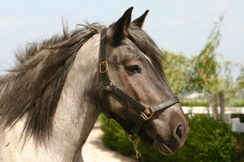 Draught horse head stock images