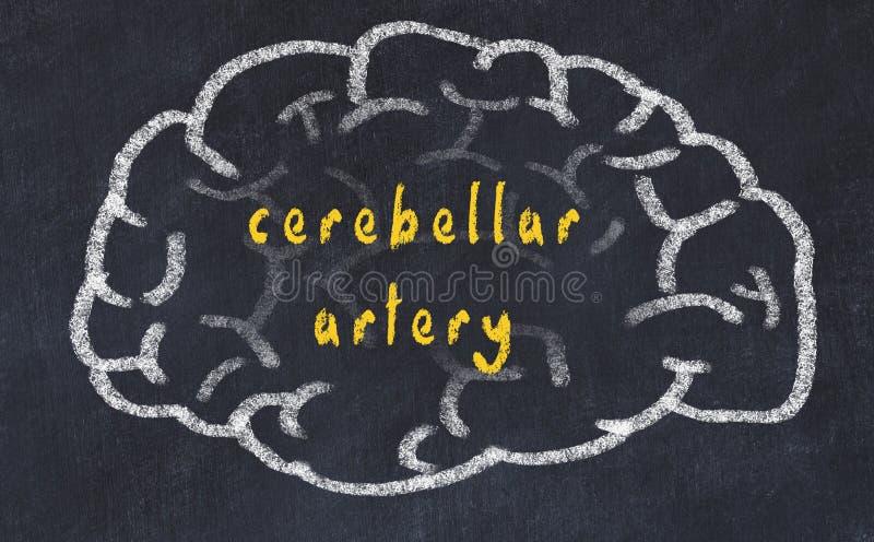 Drawind del cerebro humano en la pizarra con la arteria cerebelosa de la inscripción stock de ilustración