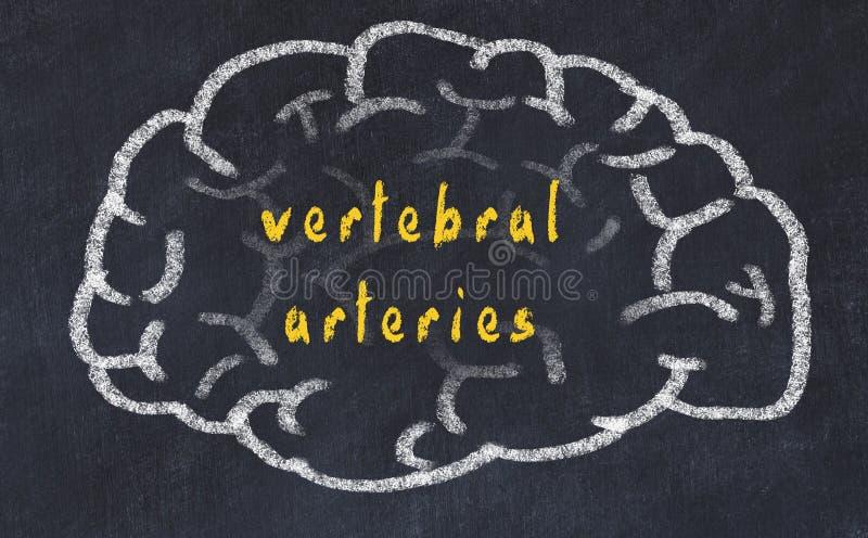 Drawind del cerebro humano en la pizarra con las arterias vertebrales de la inscripción libre illustration