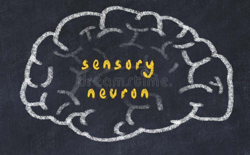 Drawind del cerebro humano en la pizarra con la neurona sensorial de la inscripción ilustración del vector