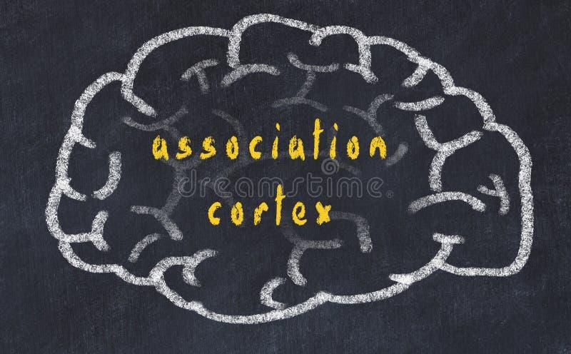 Drawind of human brain on chalkboard with inscription association cortex.  vector illustration