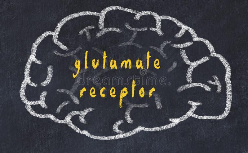 Drawind of human brain on chalkboard with inscription glutamate receptor stock illustration