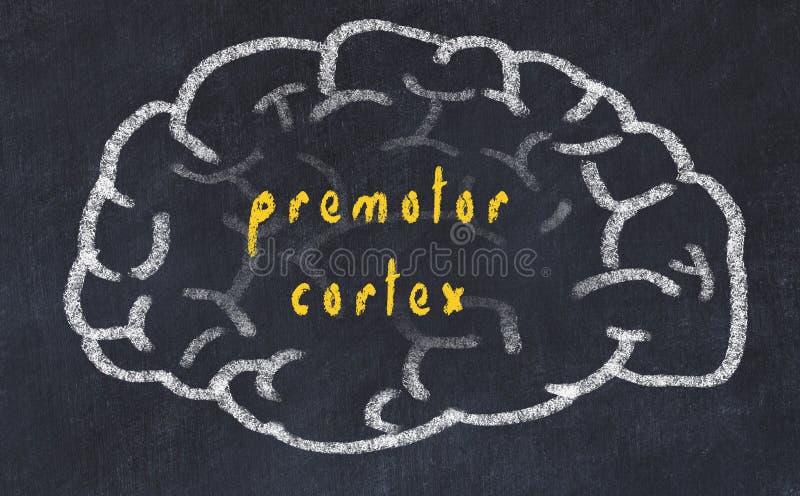 Drawind ludzki mózg na chalkboard z wpisowym premotor cortex royalty ilustracja