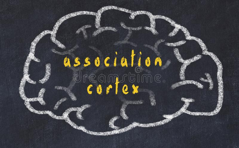 Drawind ludzki mózg na chalkboard z wpisowym skojarzeniowym cortex ilustracja wektor