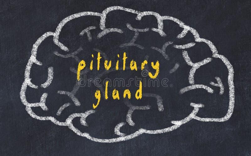 Drawind van menselijke hersenen op bord met inschrijvings slijmachtige klier stock illustratie