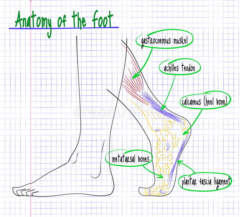 Drawing Of The Anatomy Of The Human Foot Side Stock Vector ...