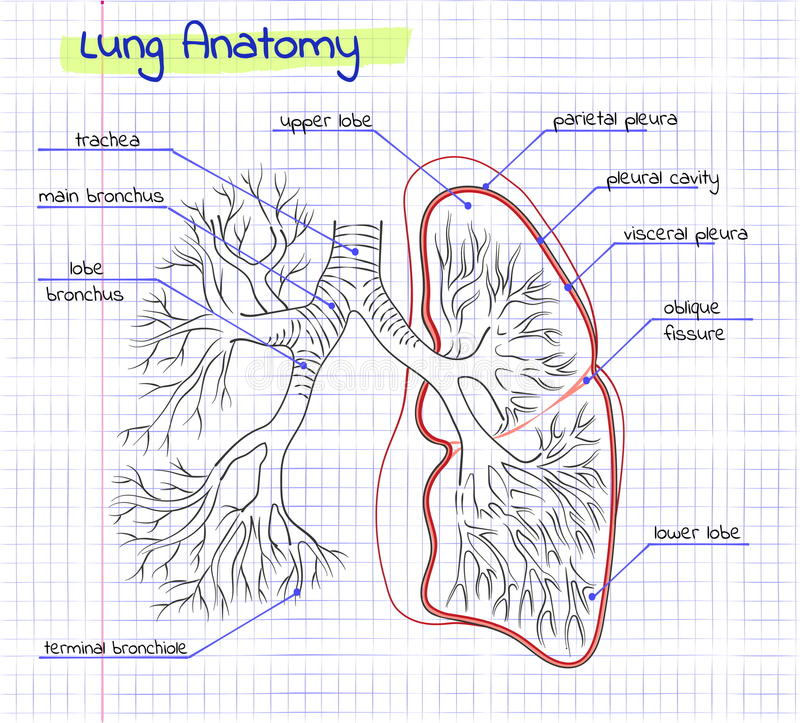 Drawing Anatomy Of The Human Lung Stock Vector Illustration Of