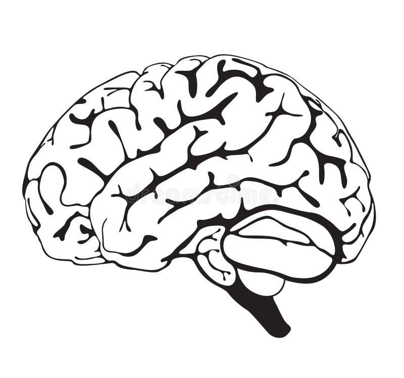 Line Art Brain : Drawing brain closeup stock illustration of