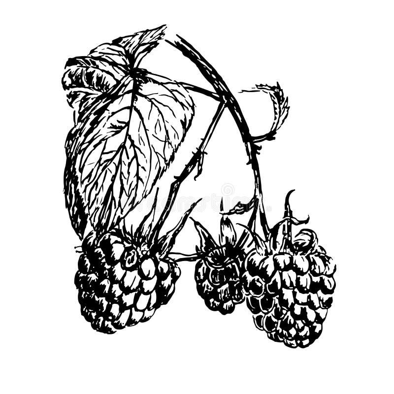 Drawing branch of ripe raspberries illustration royalty free illustration