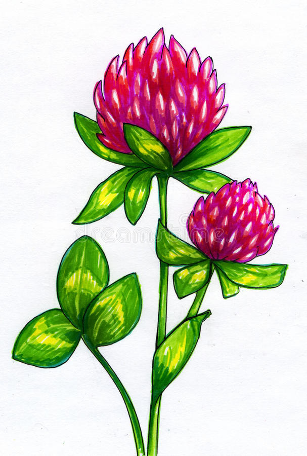 Drawing of clover flowers stock photography