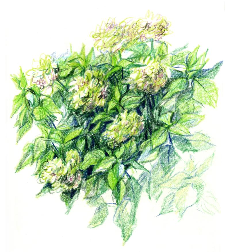 Drawing with colored pencils. Bush white hydrangea royalty free illustration