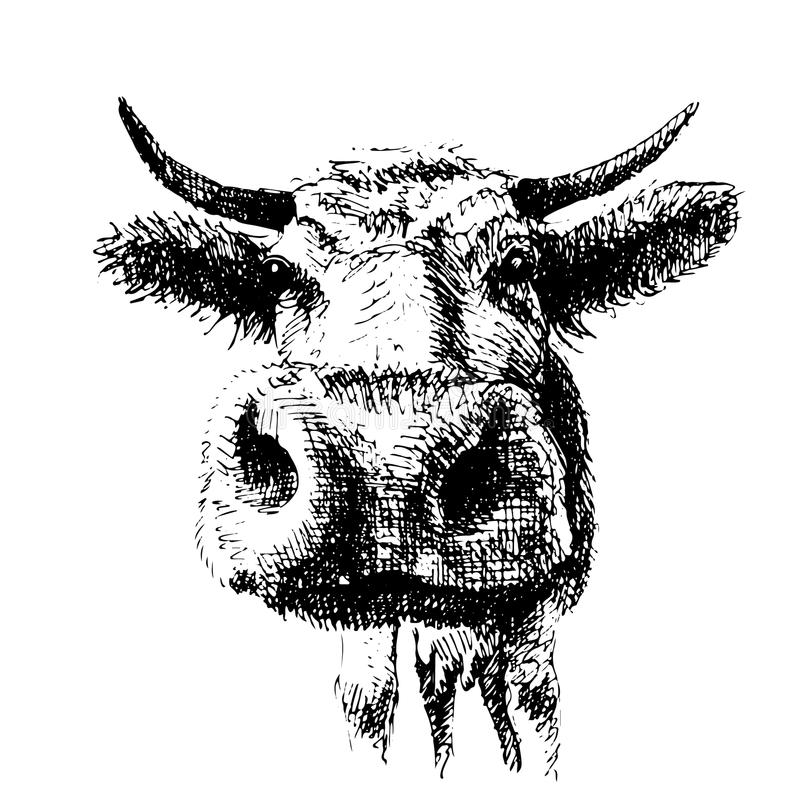 Drawing of cow in black and write, graphic vector illustration