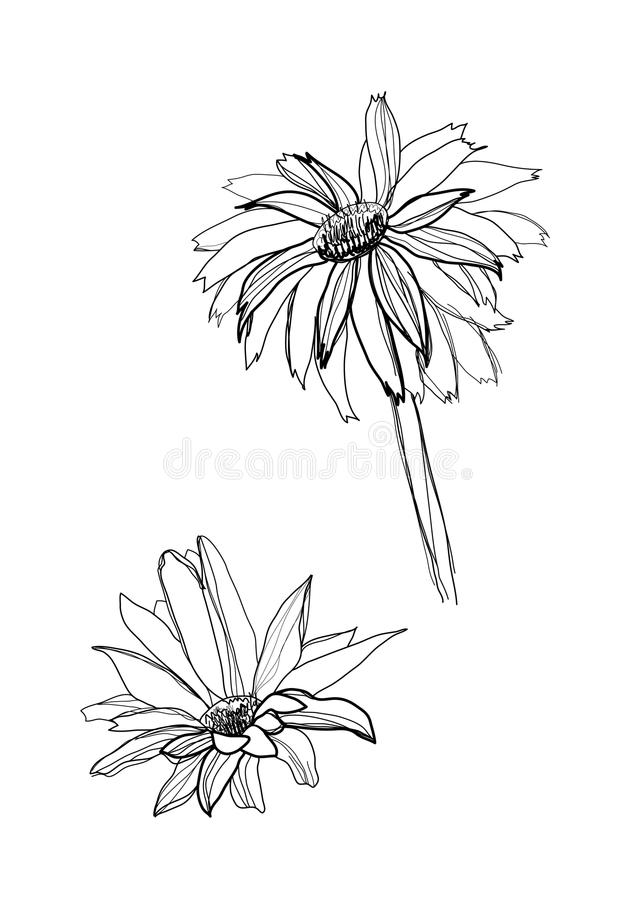 Drawing gerbera royalty free illustration
