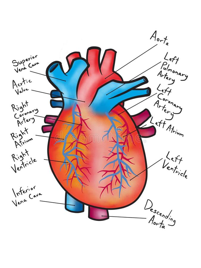 Drawing Of The Human Heart Diagram Illustration Stock Image