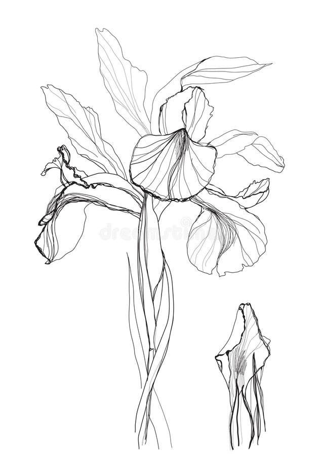 Drawing iris royalty free illustration