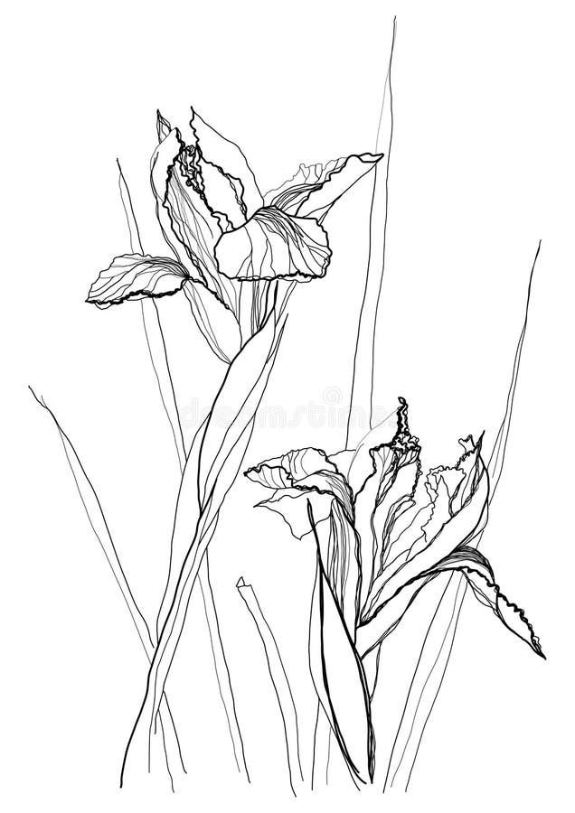Drawing irises royalty free illustration