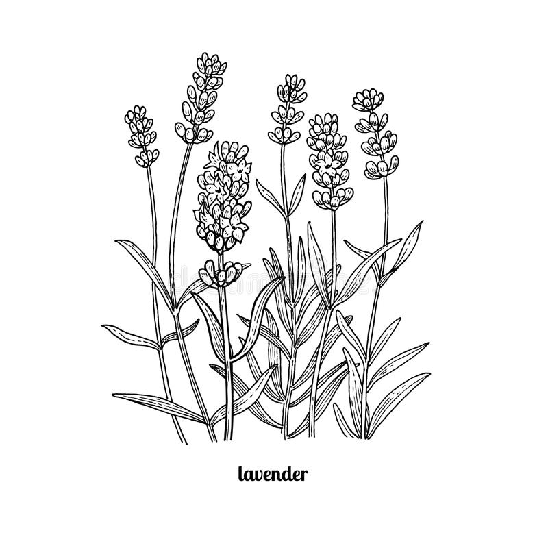 Line Drawing Lavender : Drawing lavender flowers stock vector illustration of
