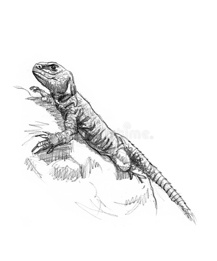 Download Drawing of a lizard stock illustration. Illustration of artist - 19932701