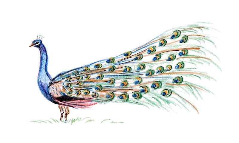 Drawing peacock vector illustration