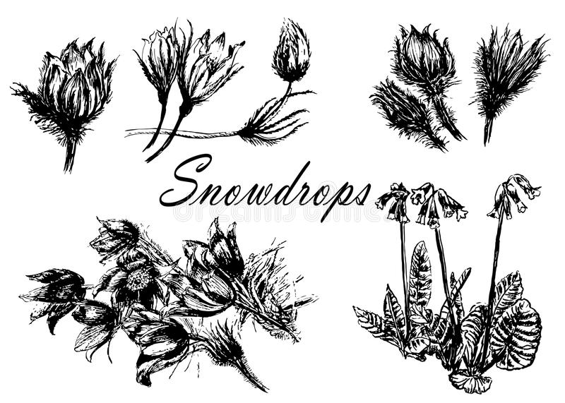 Drawing set collection of forest primroses, first spring flowers sketch illustration. Drawing set collection of forest primroses, first spring flowers sketch stock illustration