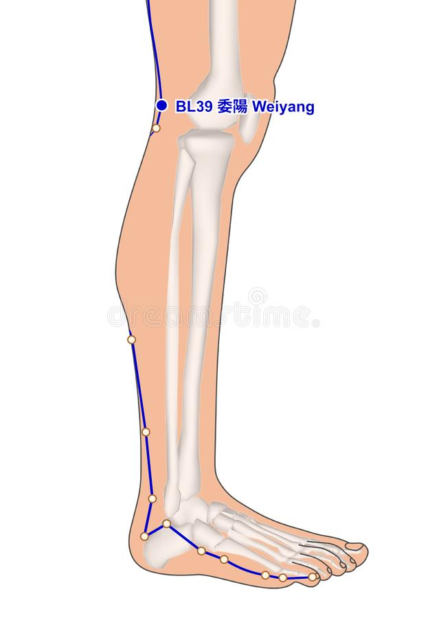 Drawing with Skeleton, Acupuncture Point BL39 Weiyang, 3D Illustration stock images