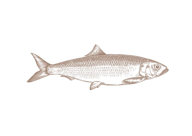 Drawing of whole herring. Drawing of whole live herring on the white stock illustration