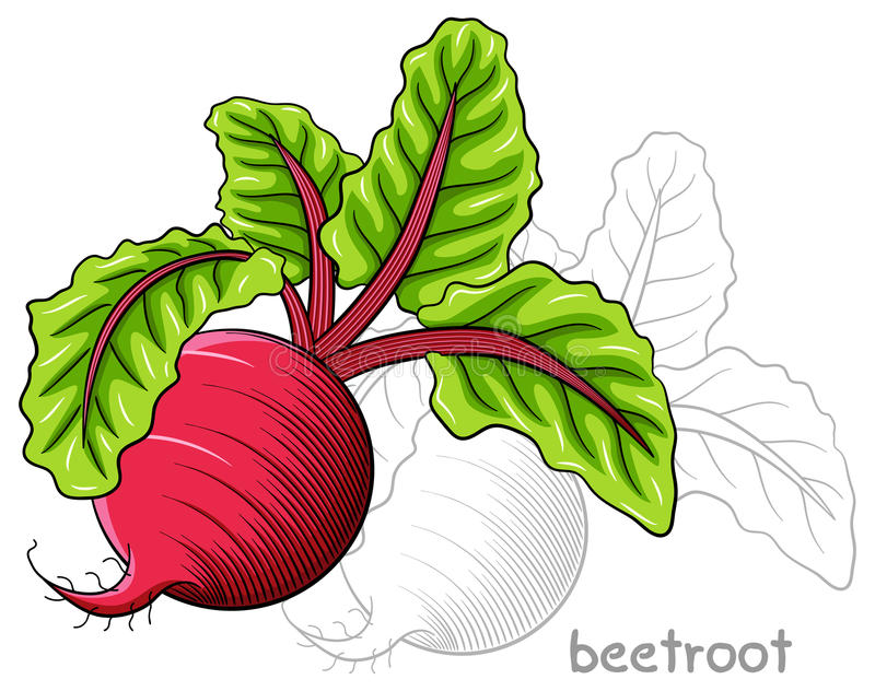 Drawn beetroot. Vector illustration of a drawn beetroot vector illustration
